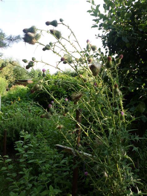 Gro E Ameisen Im Garten 4992 by Bilder Disteln Im Garten 187 Gartenbob De Der Gartenratgeber