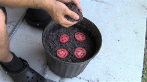 Benih Bibit Biji Buah Sayur Tomato Cherry Large muž dal do květin 225 če 4 pl 225 tky kr 225 jen 253 ch rajčat neuvěř 237 te