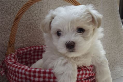 shih tzu puppies adoption maltese shih tzu www pixshark images
