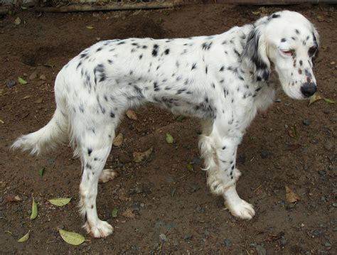 english setter dog adoption suzy rescue english setter flickr photo sharing