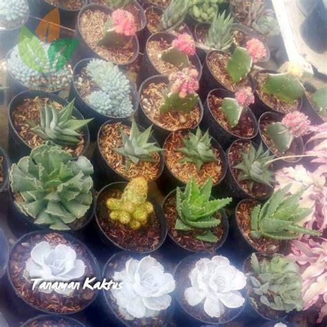 jual tanaman kaktus mini aneka bentuk agro bibit id