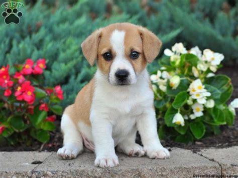 corgi mix puppies for sale 10 best images about cojack on