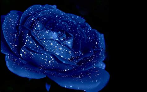 themes rose wallpaper blue rose backgrounds wallpaper cave