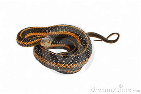 Snake Rolling In garter snake rolling royalty free stock photo image
