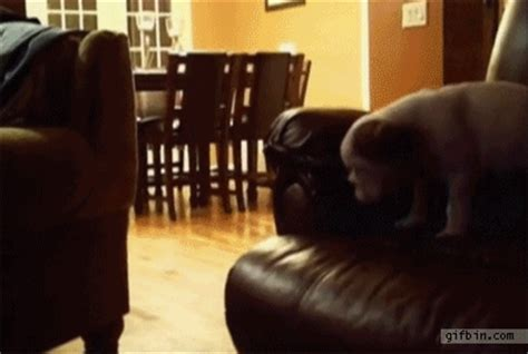 stop puppy from jumping on couch gifs of animals being stupid 25 pics