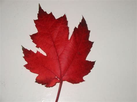 file canadian maple leaf jpg wikimedia commons