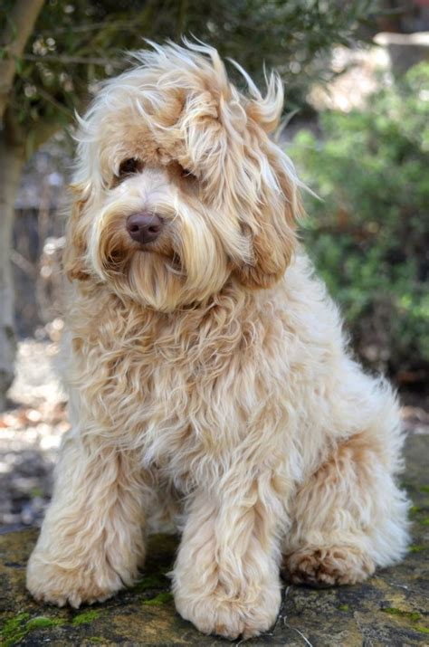mini labradoodles kentucky 40 best images about cape may doodles on