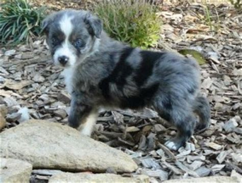 cheap australian shepherd puppies for sale dogs indiana free classified ads