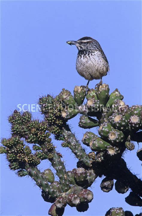 cactus wren with insect prey in its bill stock image