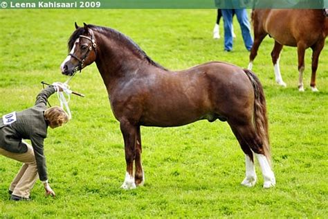 welsh section c height 17 best images about welsh pony of cob type section c on