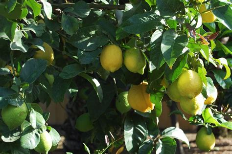 when do lemon trees produce fruit lemon tree fruiting tips to encourage fruit on lemon trees