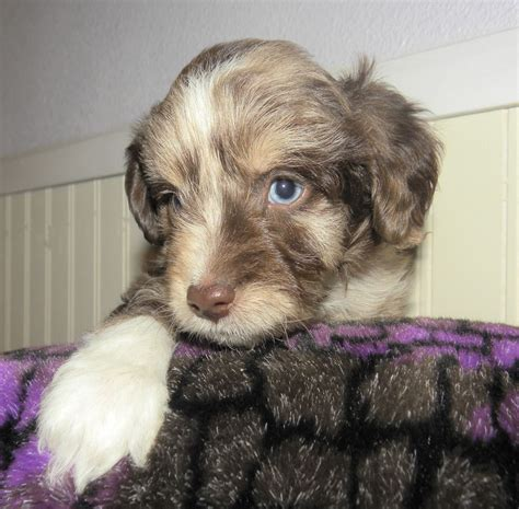 mini aussiedoodle puppies the gallery for gt aussiedoodle puppies blue merle