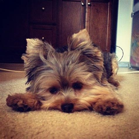 yorkie buy best 25 yorkie ideas on