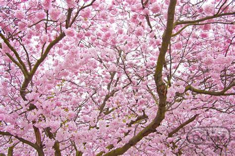 cherry bloosom tree national tree of japan cherry blossom 123countries