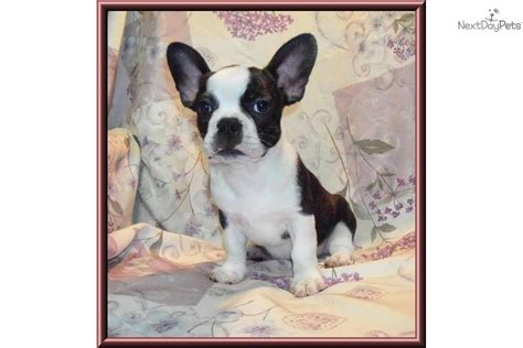 frenchton puppies for sale frenchton puppy bulldog bulldog puppy bulldog breeds picture