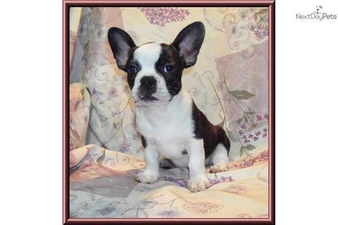 frenchton puppies for sale ohio frenchton puppy bulldog bulldog puppy bulldog breeds picture