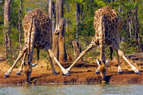 imagenes de jirafas sacando la lengua animales salvajes lauraniria