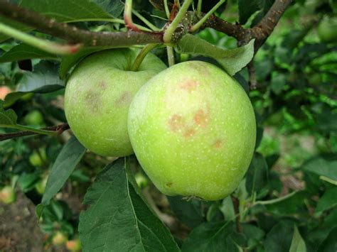 sidro fatto in casa sidro di mele fatto in casa vita in cagna