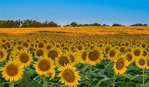 sunflower field sunflower fields in kansas fm forums