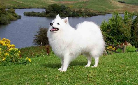 difference between japanese spitz and pomeranian japanese spitz breed information and images k9 research lab