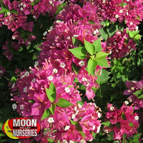 Glow Torch Senter torch glow bougainvillea shrubs palm paradise nursery