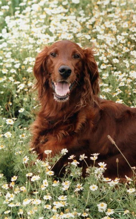 irish setter dog wiki file kessie irish setter jpg wikimedia commons