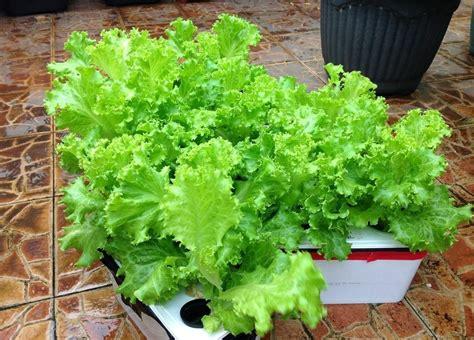 cara membuat tanaman hidroponik yang mudah tanaman hidroponik yang mudah ditanam di rumah