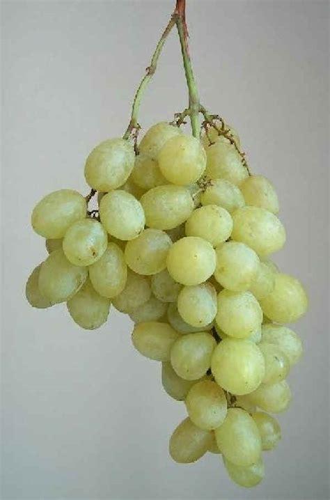 uva da tavola italia alberi da frutto vite