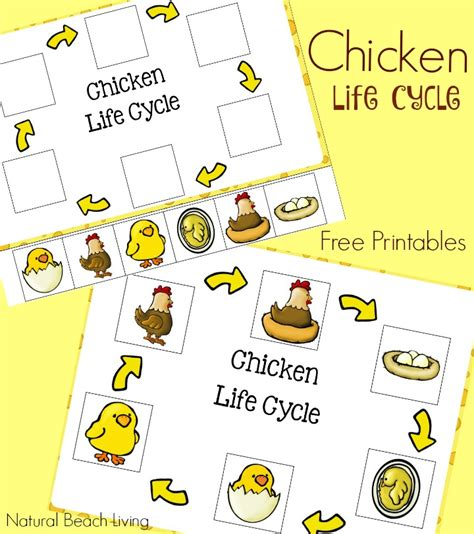 Cycle Of A Chicken Worksheet by Cycle Of A Chicken Plus Egg Science