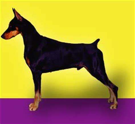 doberman puppies nc doberman puppies nc carolina goldgrove doberman breeders