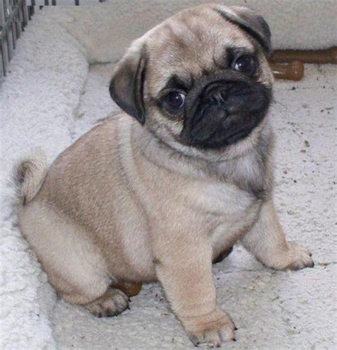 most popular pug names top 10 most friendly breeds omg top tens list