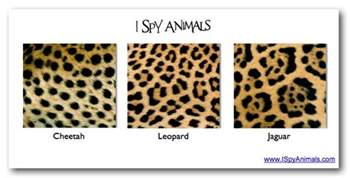 Whats The Difference Between A Jaguar And A Panther I Animals Big Cats With Circles And Rosettes