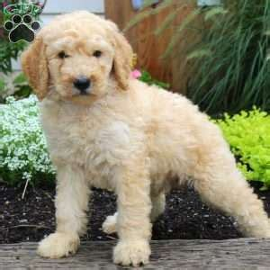standard poodle puppies for sale in pa standard poodle puppies for sale in de md ny nj philly dc and baltimore