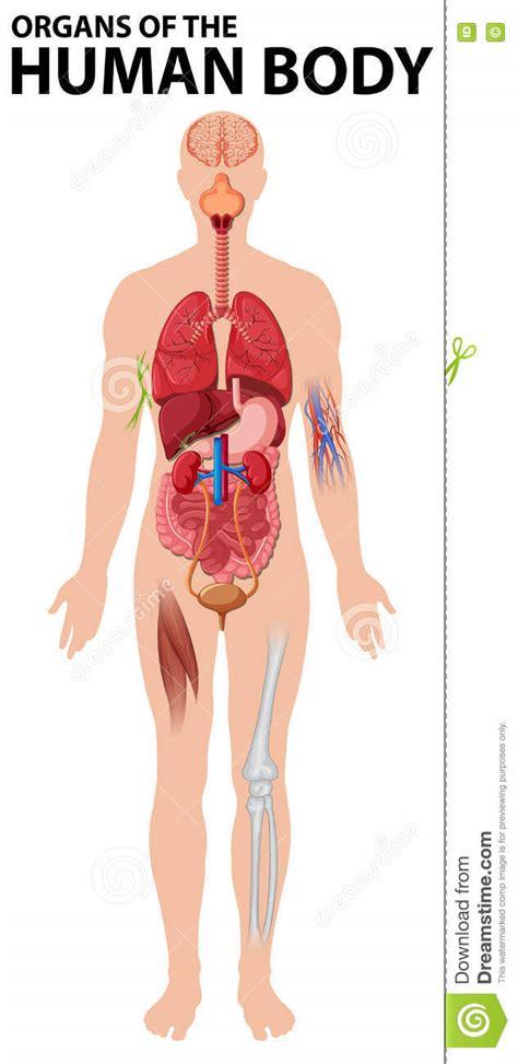 imagenes reales de organos del cuerpo humano diagrama de 243 rganos del cuerpo humano ilustraci 243 n del