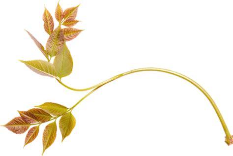 imagen sin fondo para corel hojas y flores en png arte digital