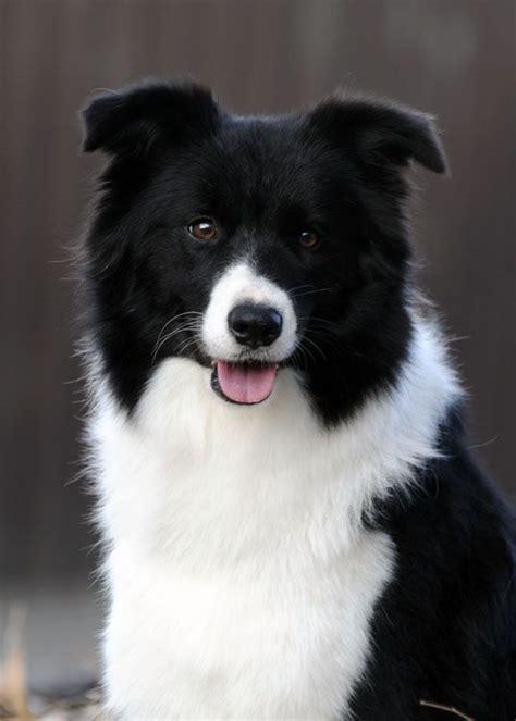 border collie puppies pa 25 b 228 sta collie puppies id 233 erna p 229 collie border collie och beaglevalpar