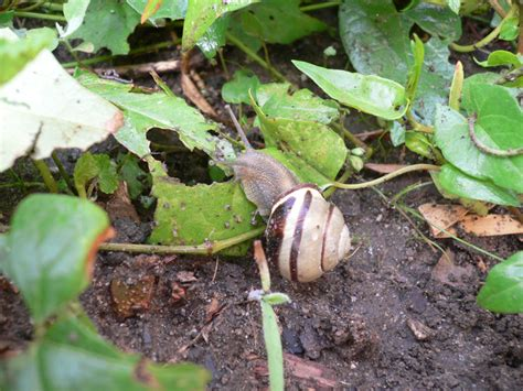Snails In Garden by Helix Aspersa On Linden Hill