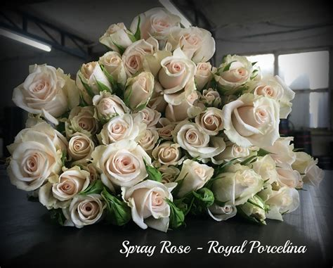 rose royal imported kenyan rose varieties bagala bros australia