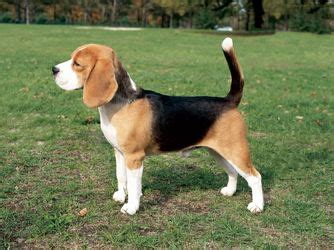 Boneka Anjing Hush Puppies Large this is a traditional tri color beagle they come in