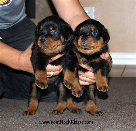 german rottweiler breeders rottweiler breeders in pictures to pin on