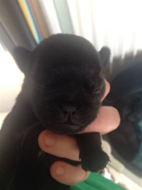 shih tzu x pug for sale puppies pug x shihtzu 350 posted 9 months ago for sale dogs pug quotes