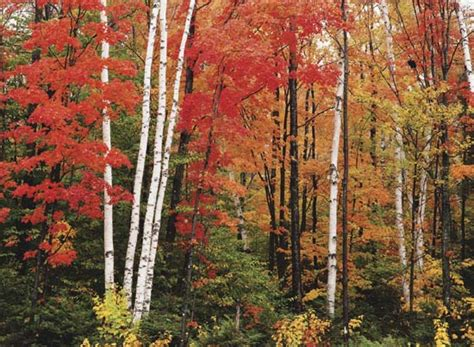 photographthe leaves  birch  maple trees chage