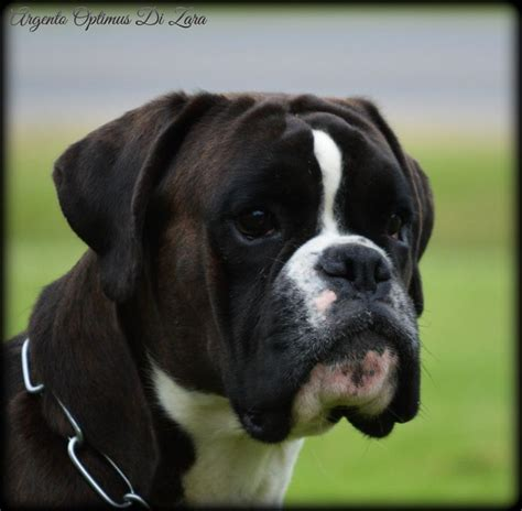 boxer puppies for sale in ct 17 best ideas about boxer dogs for sale on boxers for sale boxer puppies