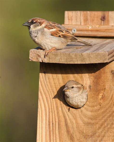 give a house sparrow a home wildlife articles