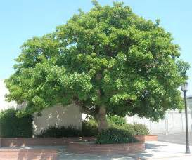 Canopy Trees For Shade by San Diego County Nurseries Southern California Nurseries