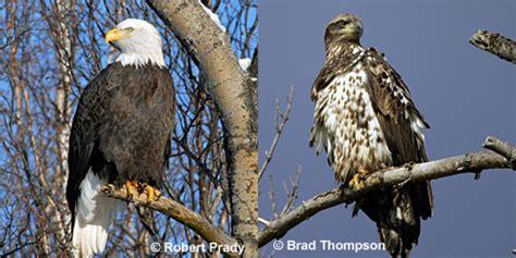 Do Eagles Shed Their Beaks by Bald Eagles Molting Http Vancouverislandbirds