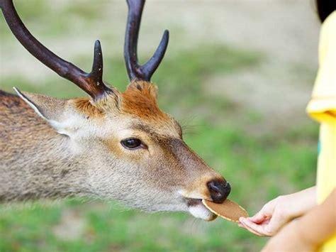 nara deer park     japan japan deluxe tours