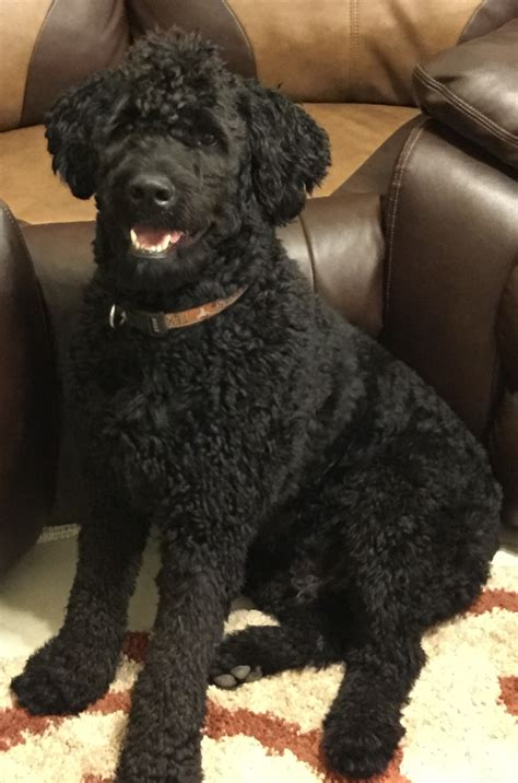 rottweiler mixed with poodle rottweiler standard poodle mix what a goofy boy