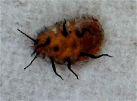 bed bugs in spanish unknown spanish insect may be mealybug what s that bug