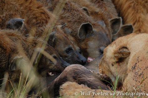 hyena vs hyena vs fight